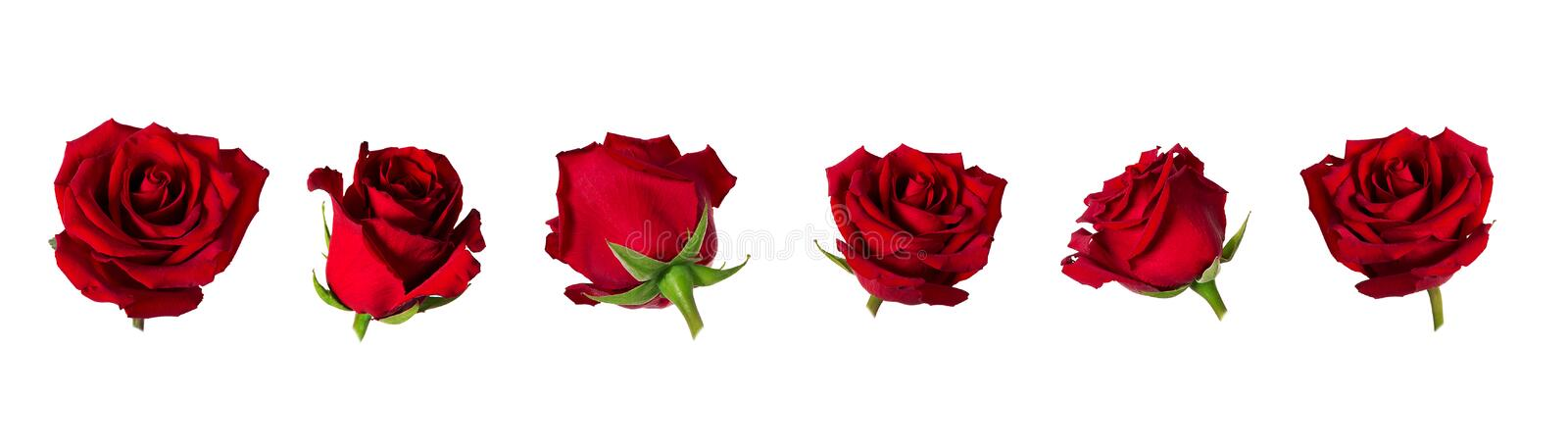 Set of six beautiful red rose flowerheads with sepals isolated on white background stock photography