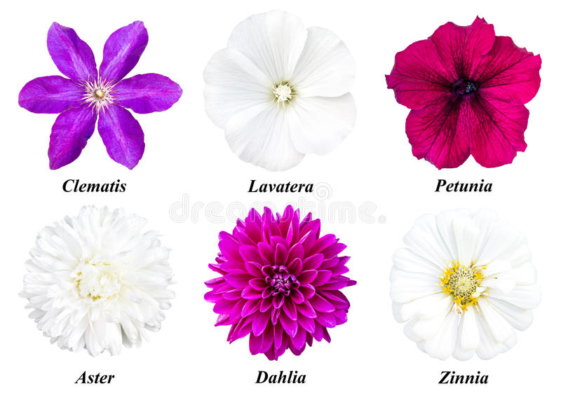 A set of six flowers: clematis, lavatera, petunia, aster, dahlia, zinnia royalty free stock image