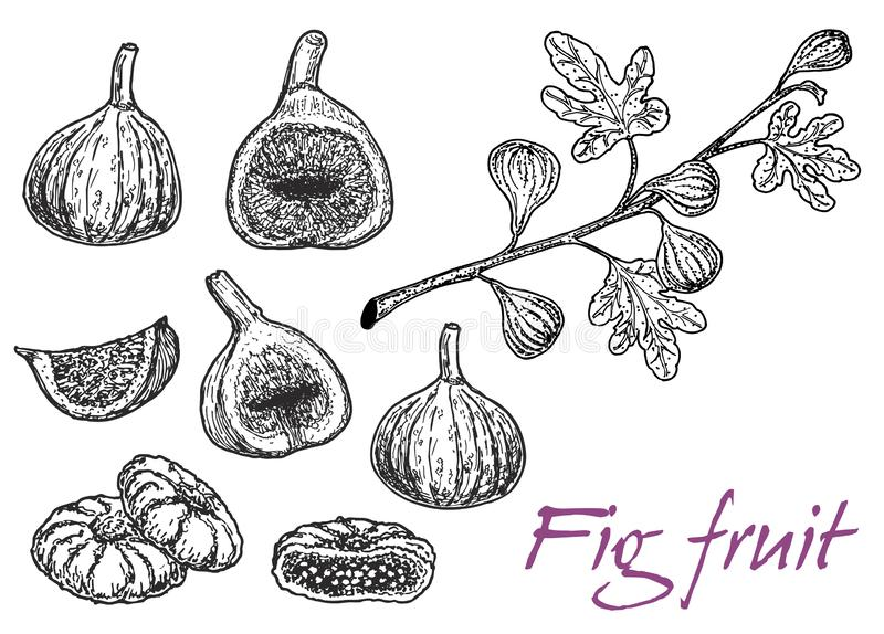 Set of sketch fig slices, fig tree and branch. Hand drawn vector dried exotic fruits. Bundle of doodle super food stock illustration