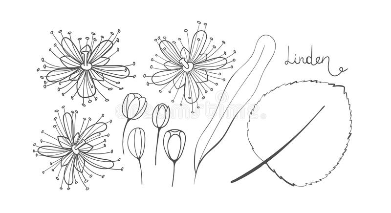 A set of sketch linden. Isolated elements outline of the Tilia. Leaves, flowers and buds of basswood. Black limetree or royalty free illustration