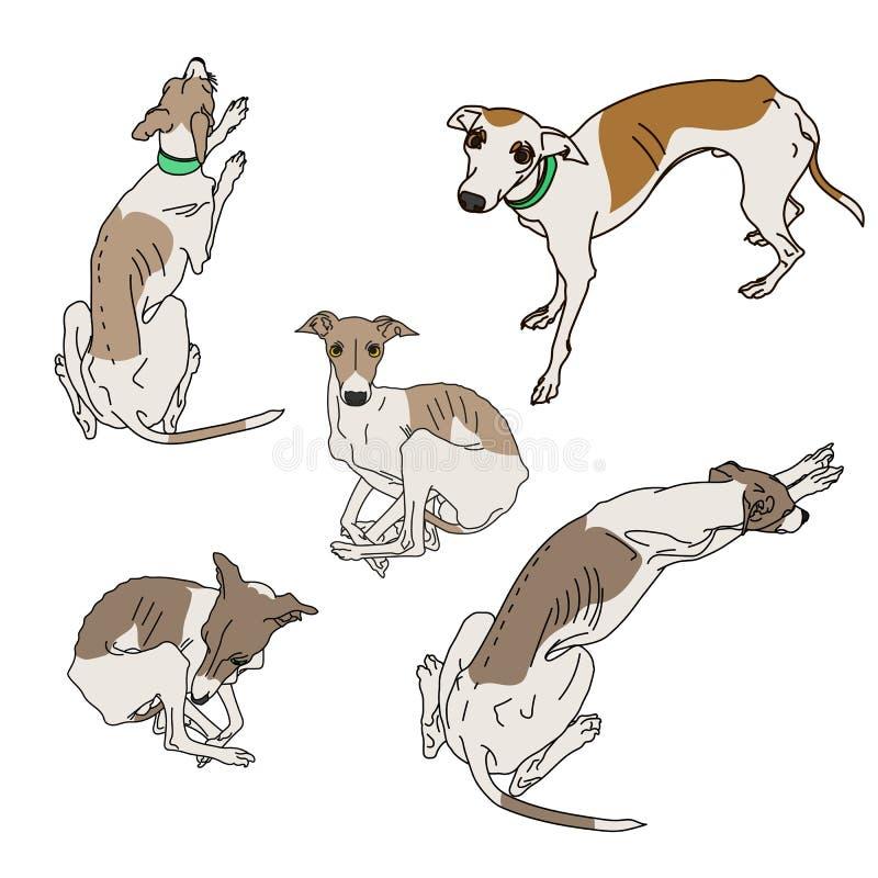 Set of skinny Italian Greyhounds. vector illustration