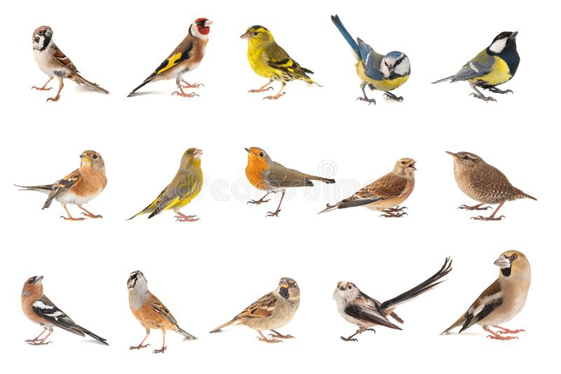 Set of small song birds isolated on white background.  stock photo