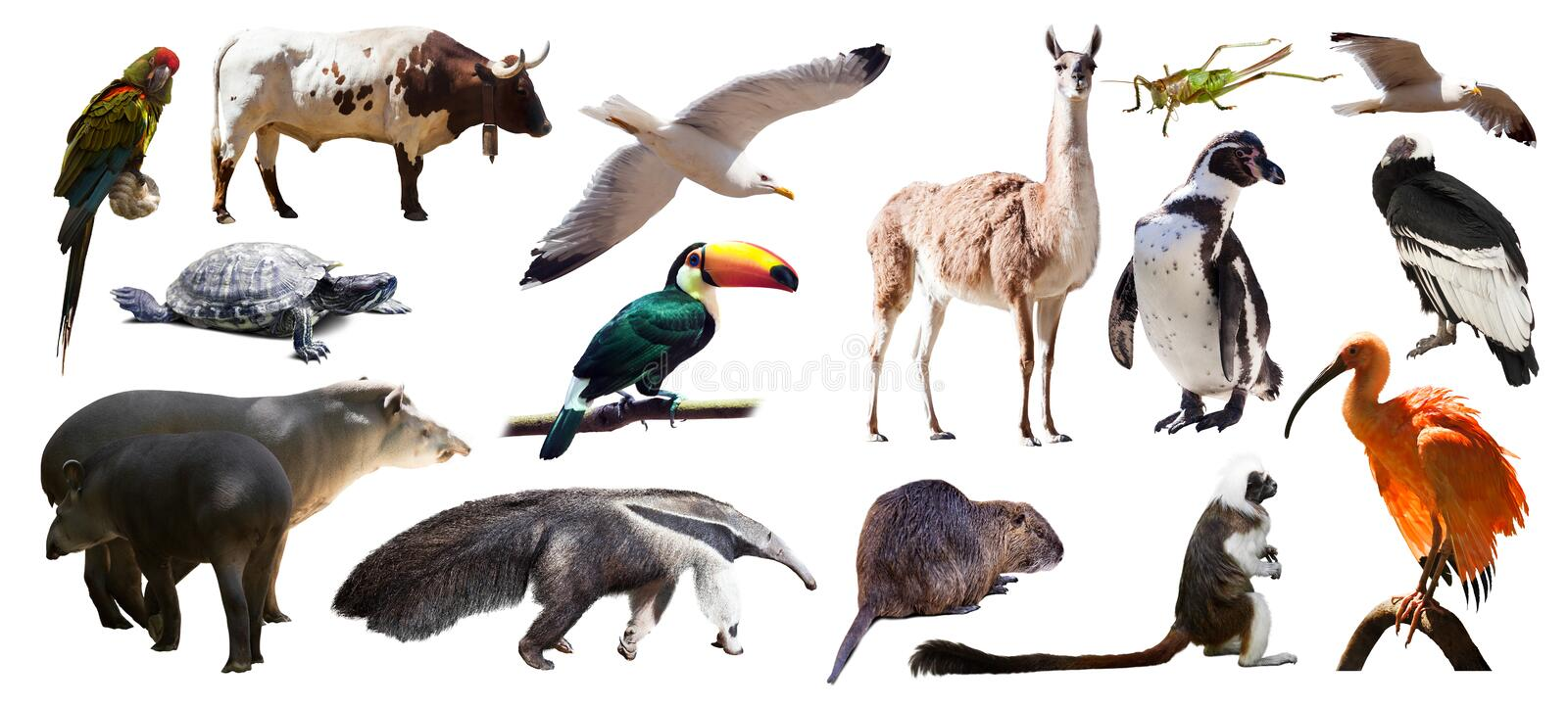 Set of South American animals. Isolated over white stock photo