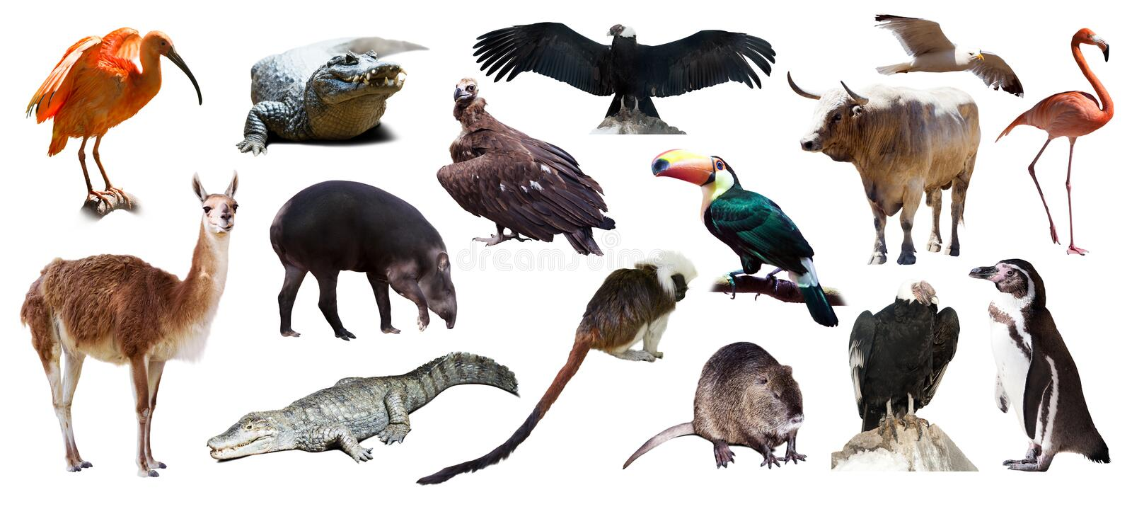 Set of South American animals over white royalty free stock images