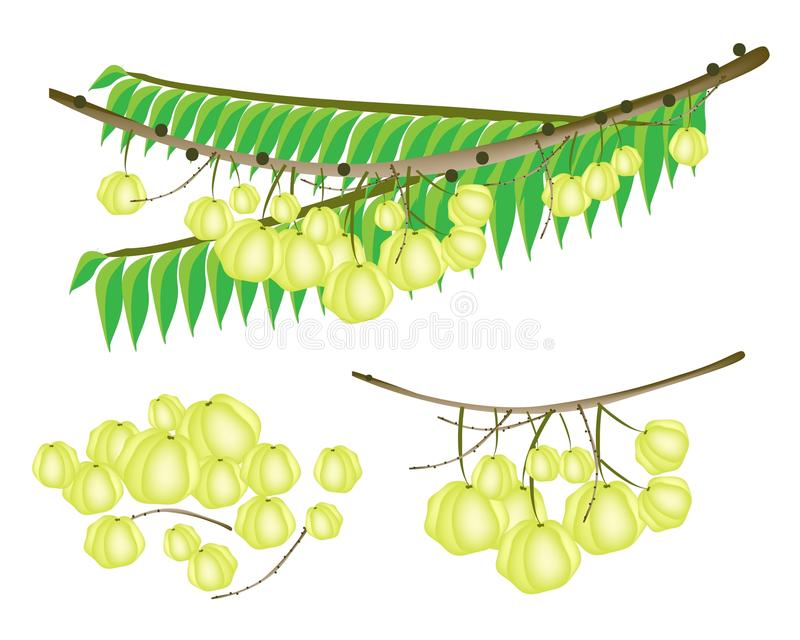 Download Set Of Star Gooseberry On White Background Stock Vector - Image: 30379193