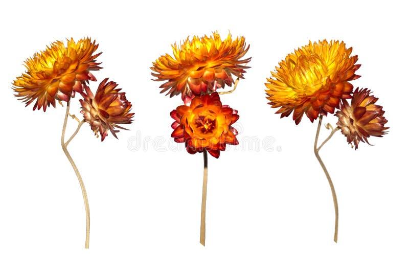 Set suchy Xerochrysum bracteatum kwiat odizolowywający na białym tle obraz royalty free
