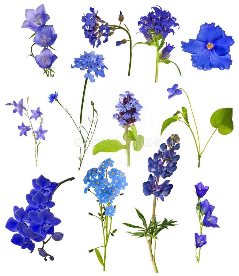 Set of thirteen blue flowers isolated on white stock image