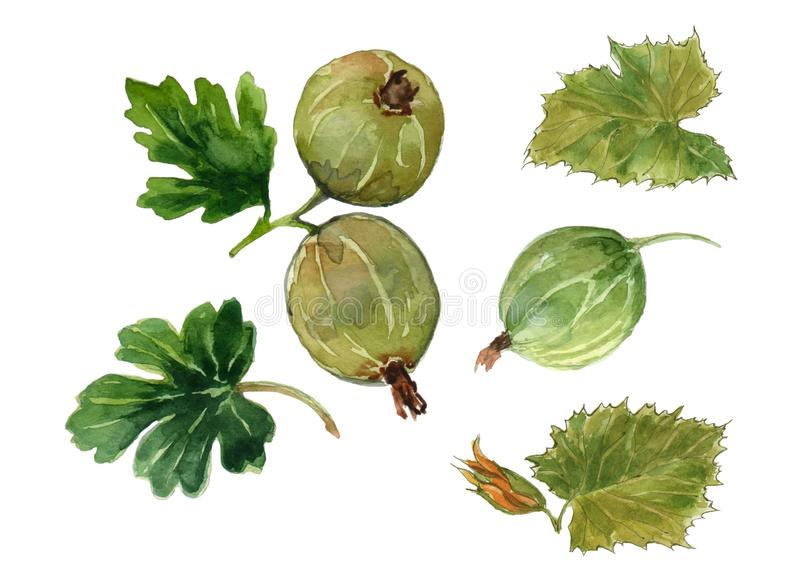 Set of three berries of a gooseberry and four green leaflets. Watercolor on white background stock illustration