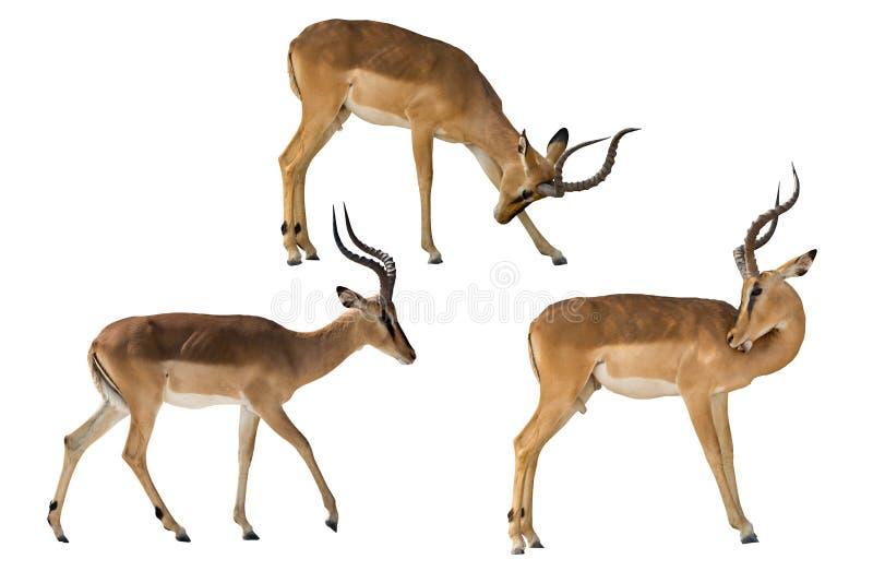 Set of three blackfaced impala royalty free stock photography
