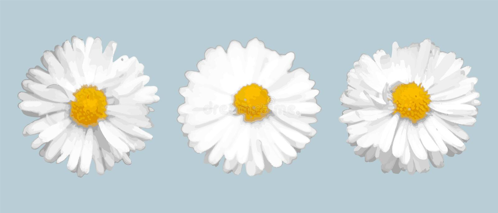 Set of three different realistic daisies. Vector elements for design vector illustration