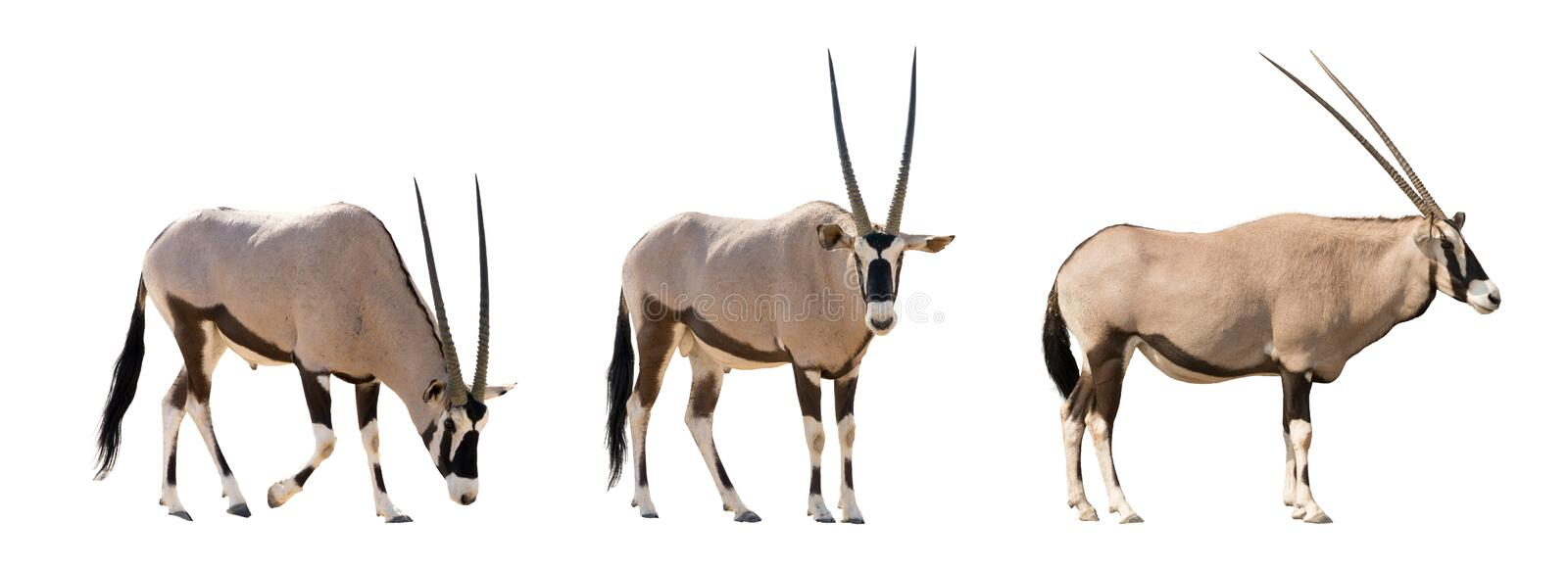 Set of three gemsbok in different posing isolated on white background royalty free stock images