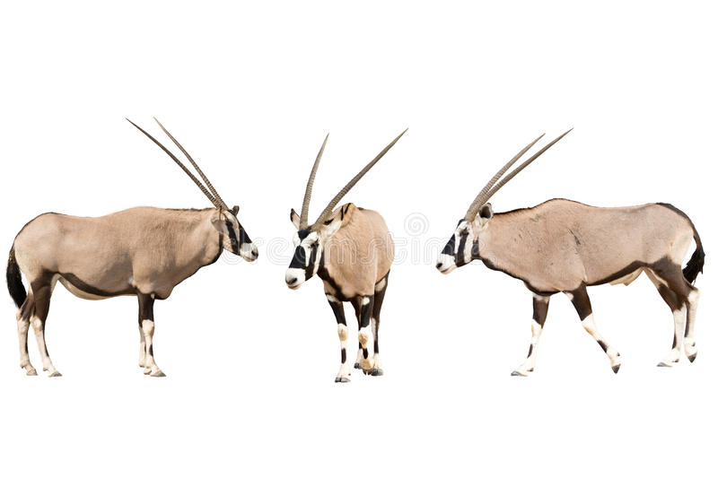 Set of three gemsbok in different posing isolated on white backg royalty free stock image