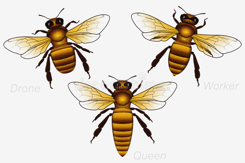 Set of Three Honey Bees. Queen and Worker and Drone. Detailed vector illustration
