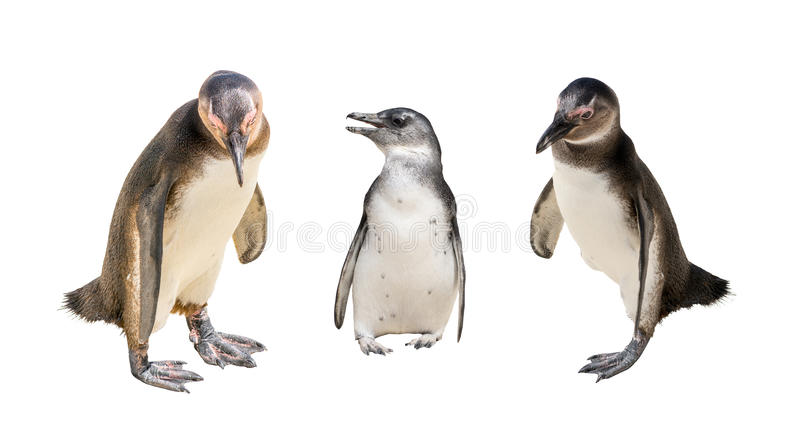 Set of three pinguin portraits isolated on white background stock photography
