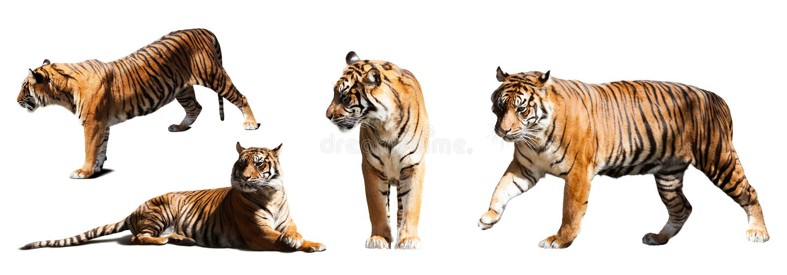 Set of tigers over white background royalty free stock image