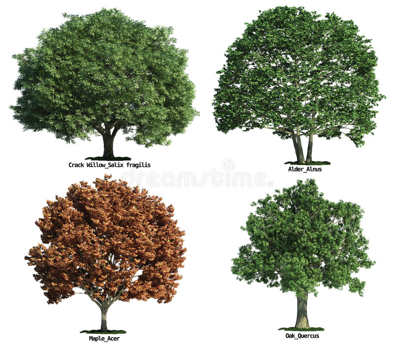 Set of trees isolated on white. Set of four trees isolated against pure white, Crack willow, Oak, Maple, Alder royalty free stock images