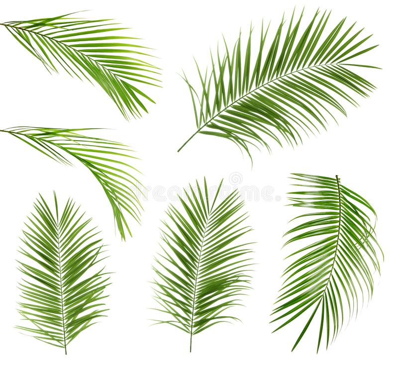 Set with tropical Sago palm leaves. On white background vector illustration