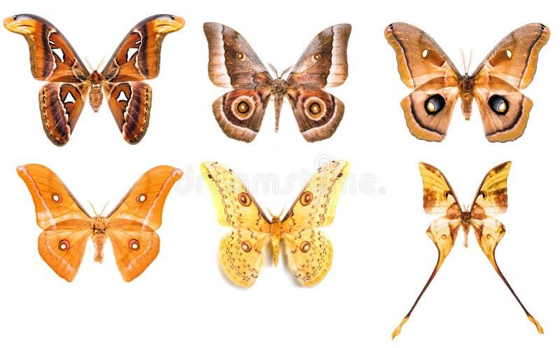 Set of tropical saturniidae night moths. Set of six tropical saturniidae night moths - Attacus Atlas, Gonimbrasia zambesina, Antheraea polyphemus, Antheraea stock photo