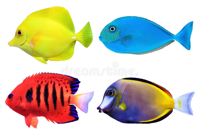 Set of tropical sea fishs. Set of tropical sea fish isolated on white background royalty free stock photo