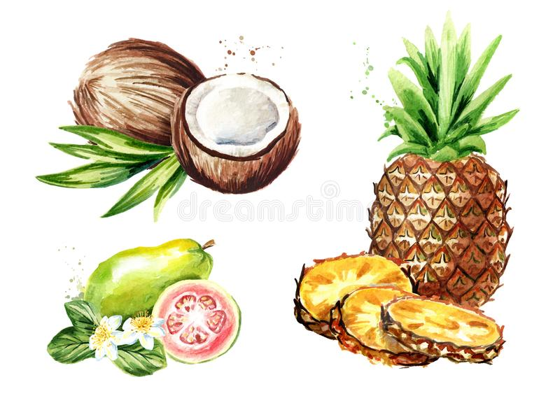 set tropiskt för frukt Kokosnöt ananas, guava Dragen illustration för vattenfärg som hand isoleras på vit bakgrund vektor illustrationer