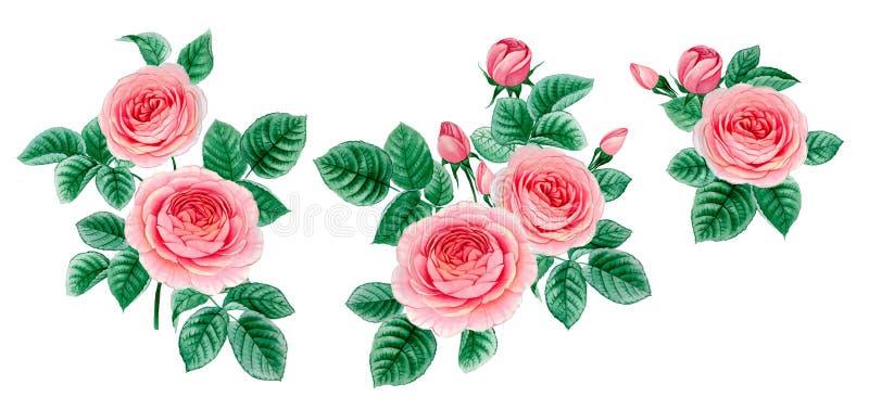 Set trzy gałąź różowej róży odizolowywającej ilustracja wektor