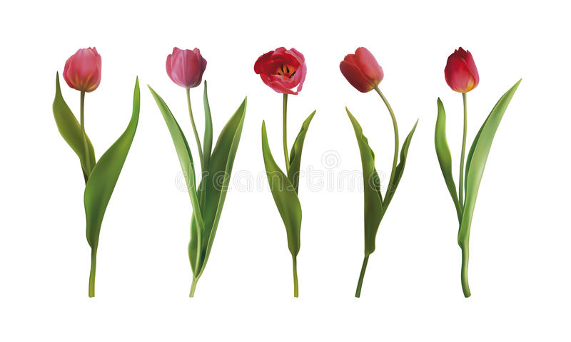 Set tulip flowers. Set of five Tulip flowers isolated on a white background. Vector illustration in EPS10 format stock illustration