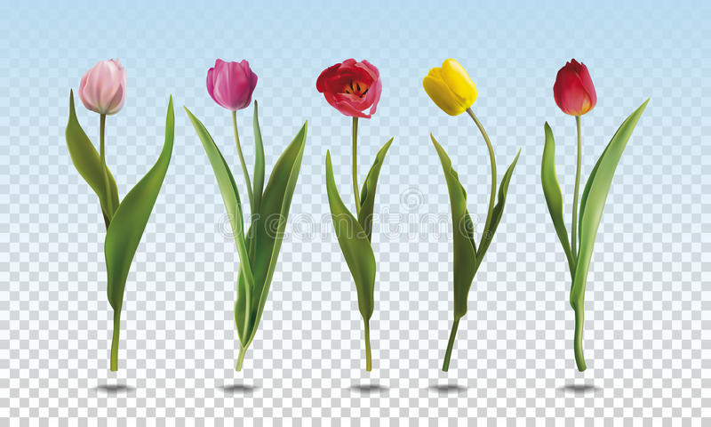 Set tulip flowers. A set of five realistic colorful Tulip flowers on a transparent background. Vector illustration in EPS10 format stock illustration