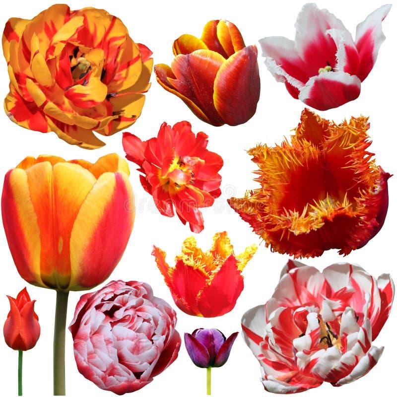 Set tulipany odizolowywaj?cy na bia?ym tle obrazy royalty free