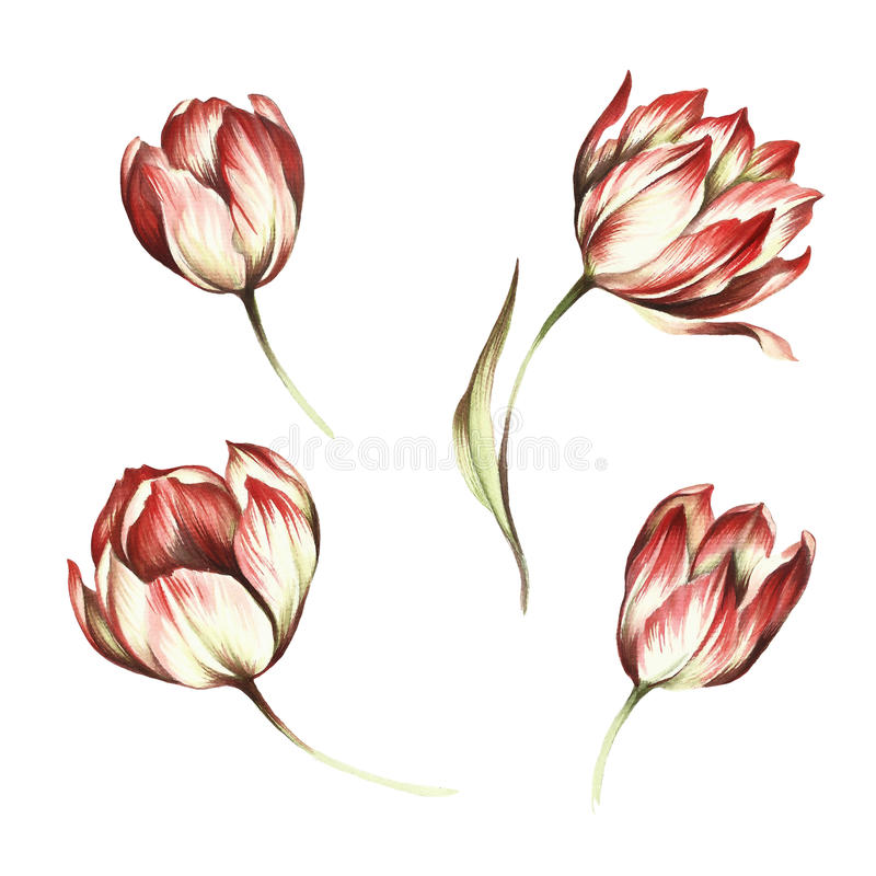 Set of tulips. Hand draw watercolor illustration royalty free illustration