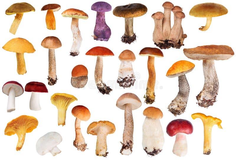 Set of twenty six edible mushrooms isolated on white. Set of edible mushrooms isolated on white background royalty free stock photos