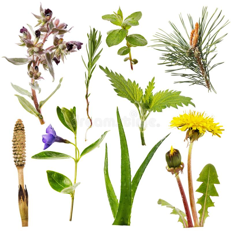 Set of various plants isolated. Some herbs are used for both medical and food purposes royalty free stock images