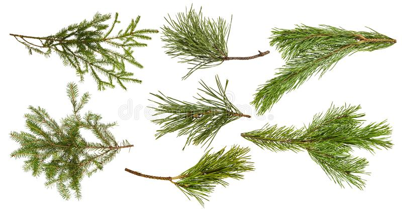 Set of various ywigs of pine tree and fir-tree isolated stock image