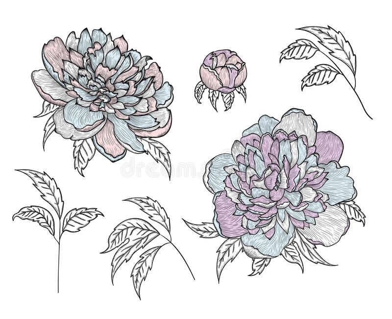 Set of vector graphic detailed drawings - peony buds and leaves royalty free illustration