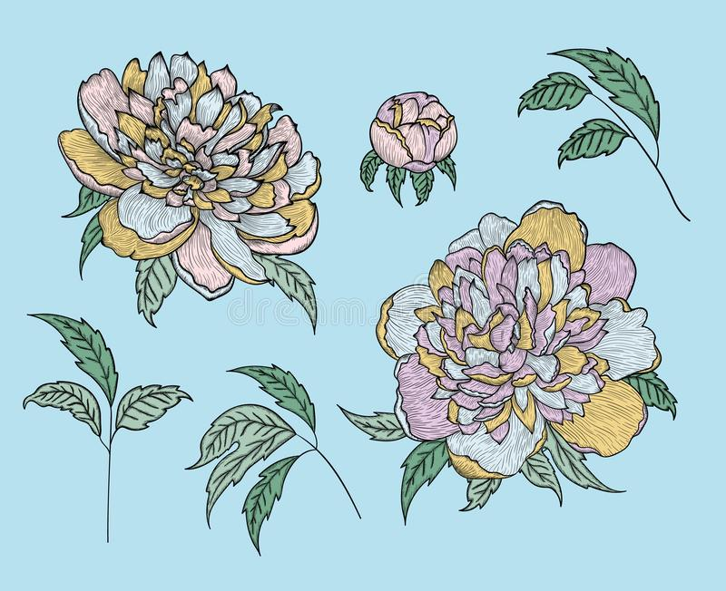 Set of vector graphic detailed drawings - peony buds and leaves vector illustration