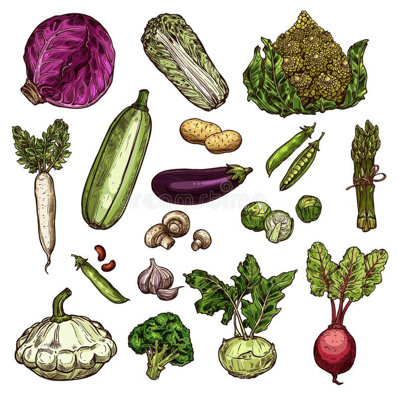 Set of vegetable icons. Vegetables set of potato, chinese cabbage, red cabbage or beans, daikon, pea and eggplant, Brussels, spinach, champignons and beetroot royalty free illustration