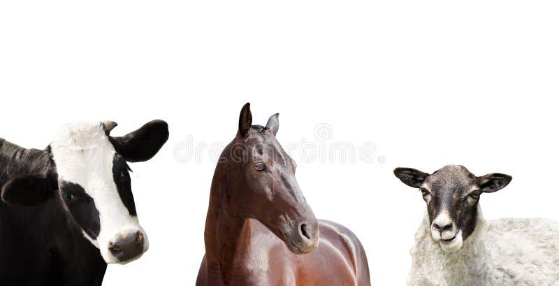 Set Vieh stockbild