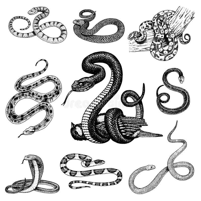 Set Viper Snake. serpent cobra and python, anaconda or viper, royal. engraved hand drawn in old sketch, vintage style royalty free illustration