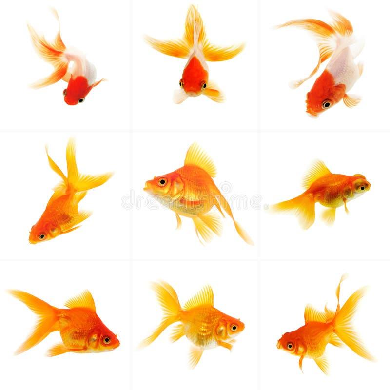 Set von Goldfish lizenzfreies stockfoto