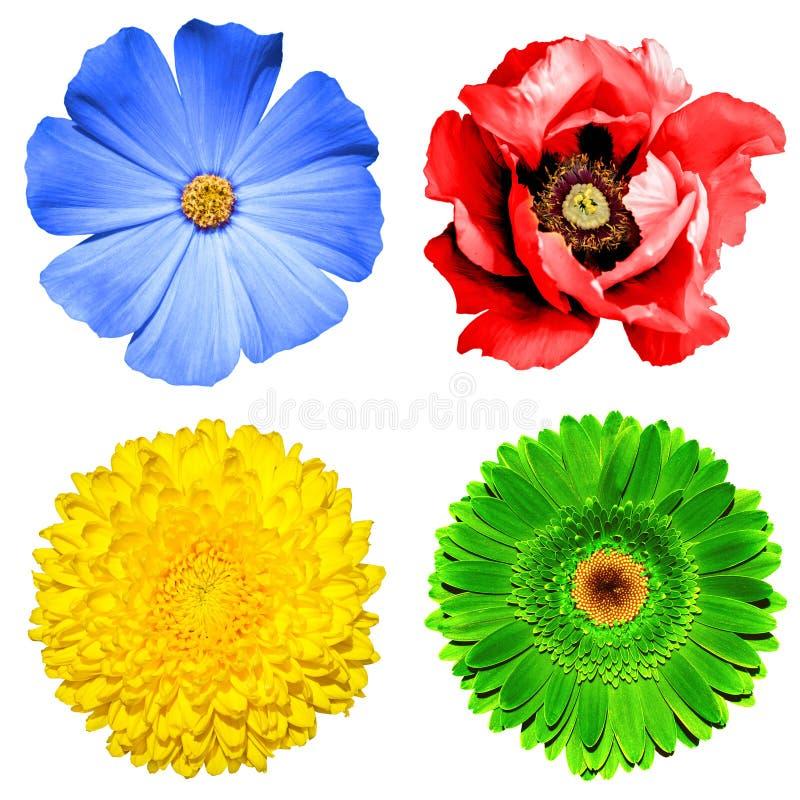 Set 4 w 1 kwiatach: żółta chryzantema, zielony gerbera, błękitny primula i czerwień makowy kwiat odizolowywający, fotografia royalty free
