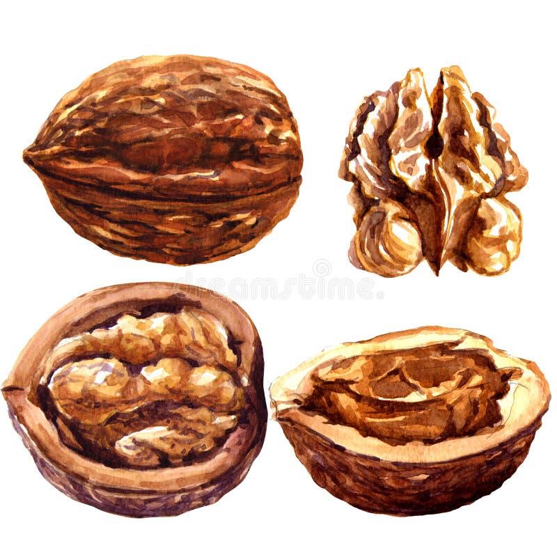 Set of walnuts isolated on white background. royalty free illustration