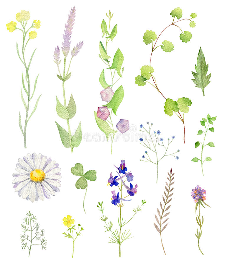 Set of watecolor cliparts of wild flowers. Set collection arrangement poster of hand painted drawn watercolor cliparts of wild herbs and flowers royalty free illustration