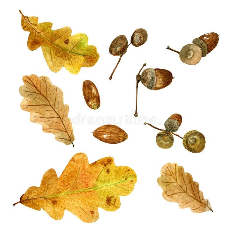 Set of watercolor autumn oak leaves and acorns vector illustration