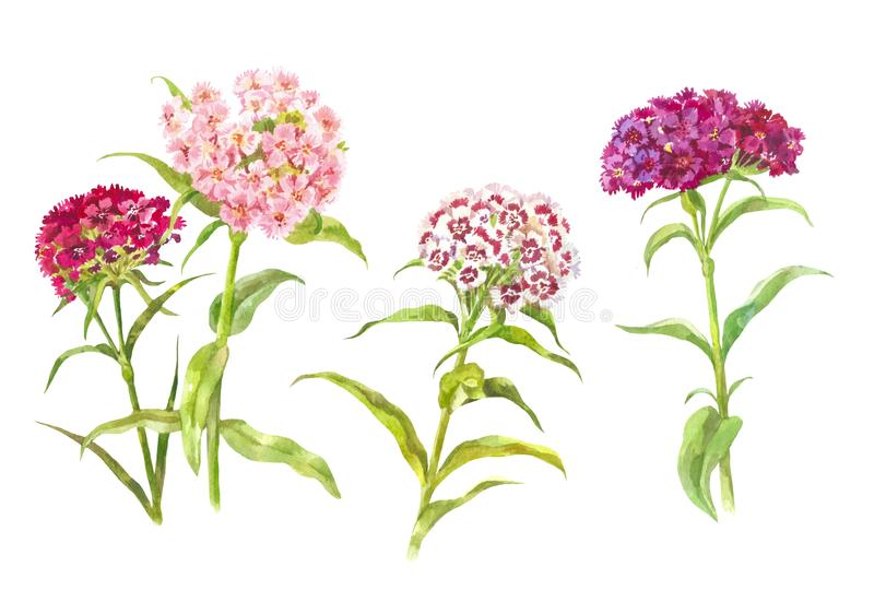 Set of watercolor carnations. Watercolor summer elements isolated on white. Watercolor carnations. Garden bright flowers isolated on white Botanical illustration royalty free illustration