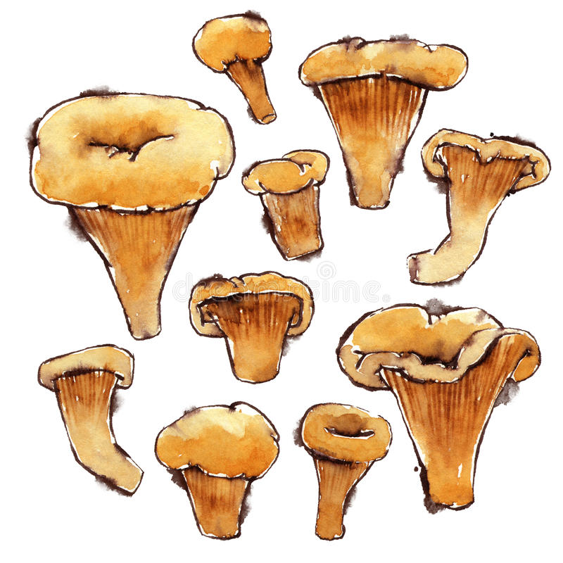 Set of Watercolor Chanterelles. Set of watercolor mushrooms chanterelles. on white. An original hand painted watercolors artwork with high quality and resolution vector illustration