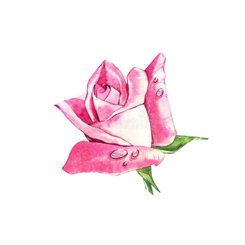 Set watercolor elements of roses. Collection garden pink flowers, leaves, branches. Botanic illustration isolated on white backgro stock illustration