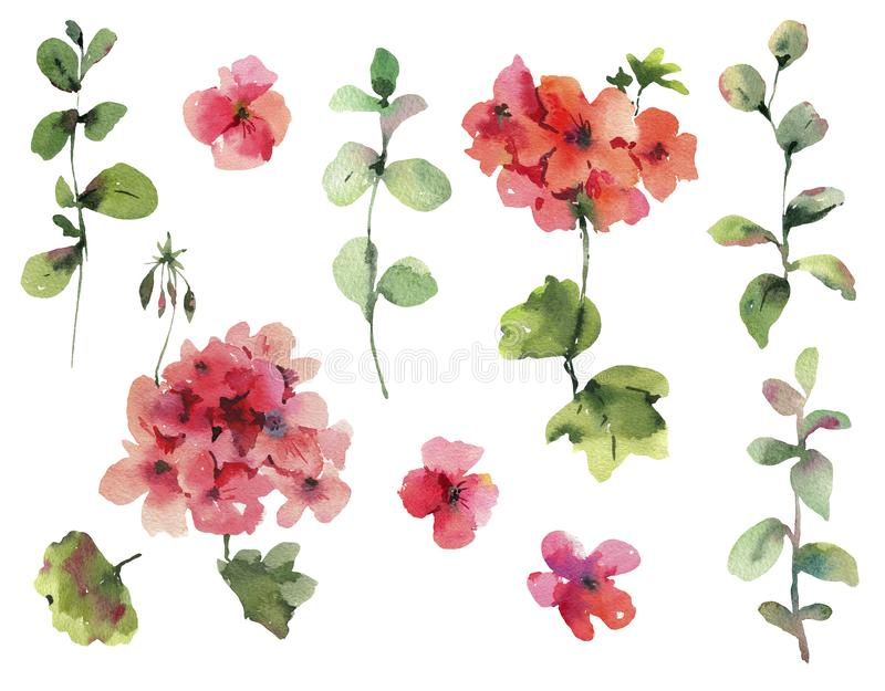 Set of Watercolor Flower Geranium, Pelargonium, Red Flowers, Natural Isolated Design Objects. Spring Summer Collection stock illustration