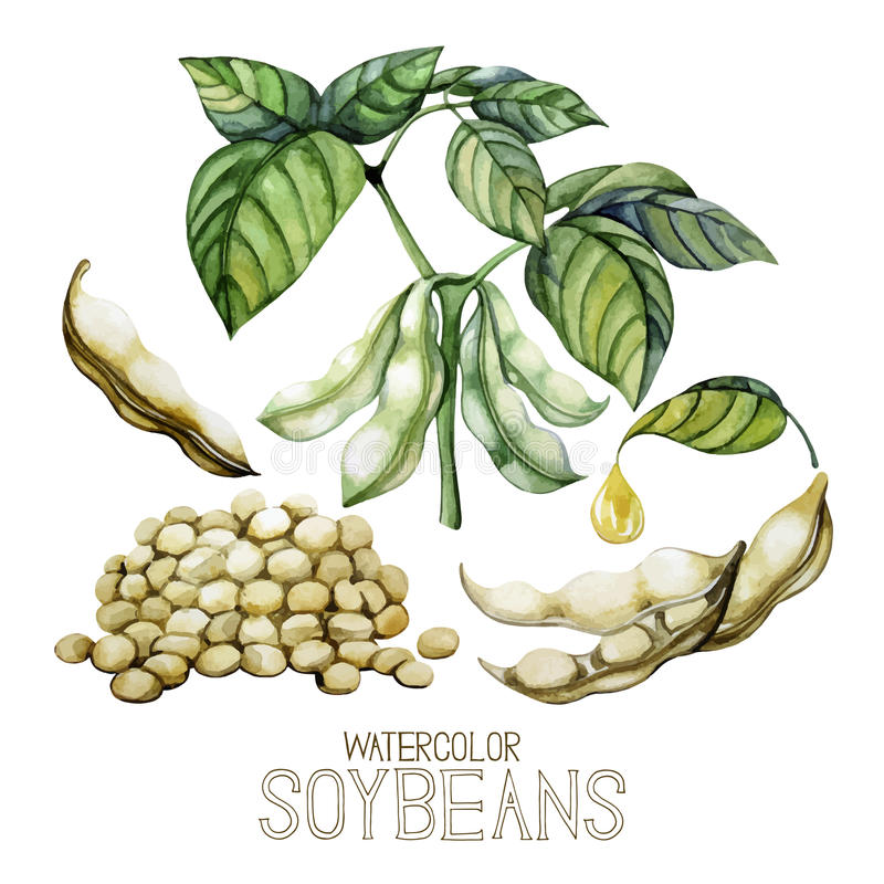 Set of watercolor soy plants. On white background. Beans,leaves and oil vector illustration