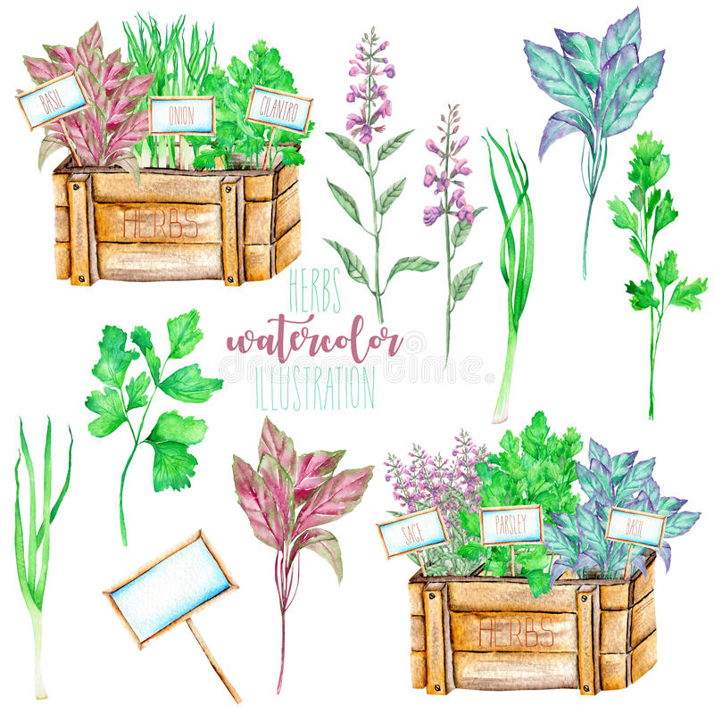 A set with the watercolor spices spicy herbs. Onion green, sage, parsley, cilantro and basil, painted on a white background royalty free illustration