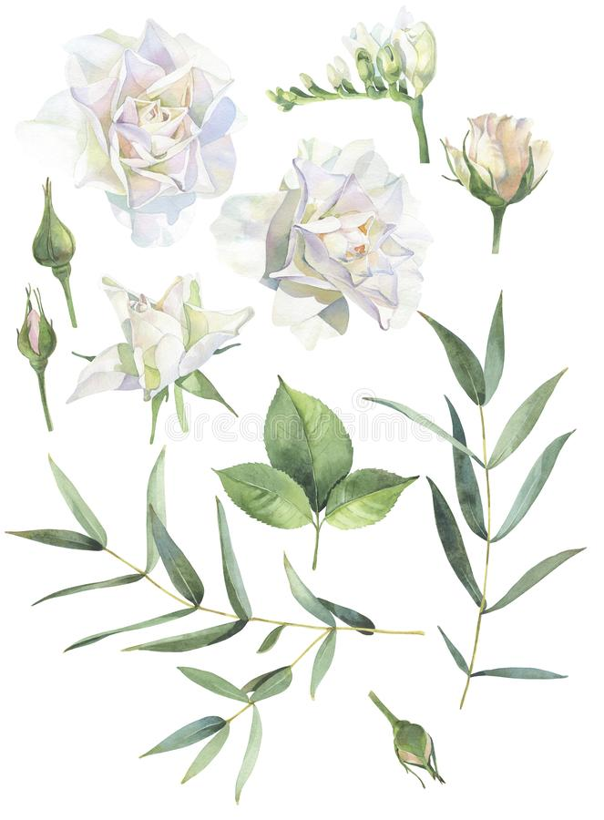 Set of watercolor white roses and buds vector illustration