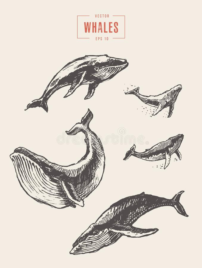 Free Set Whales Drawn Vector Illustration Sketch Royalty Free Stock Image - 116271836